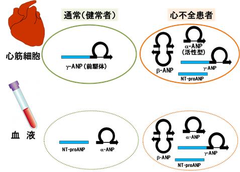 ANP(心房性ナトリウム利尿ペプ...