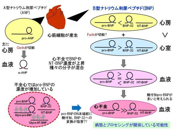 心房性ナトリウム利尿ペプチド -...